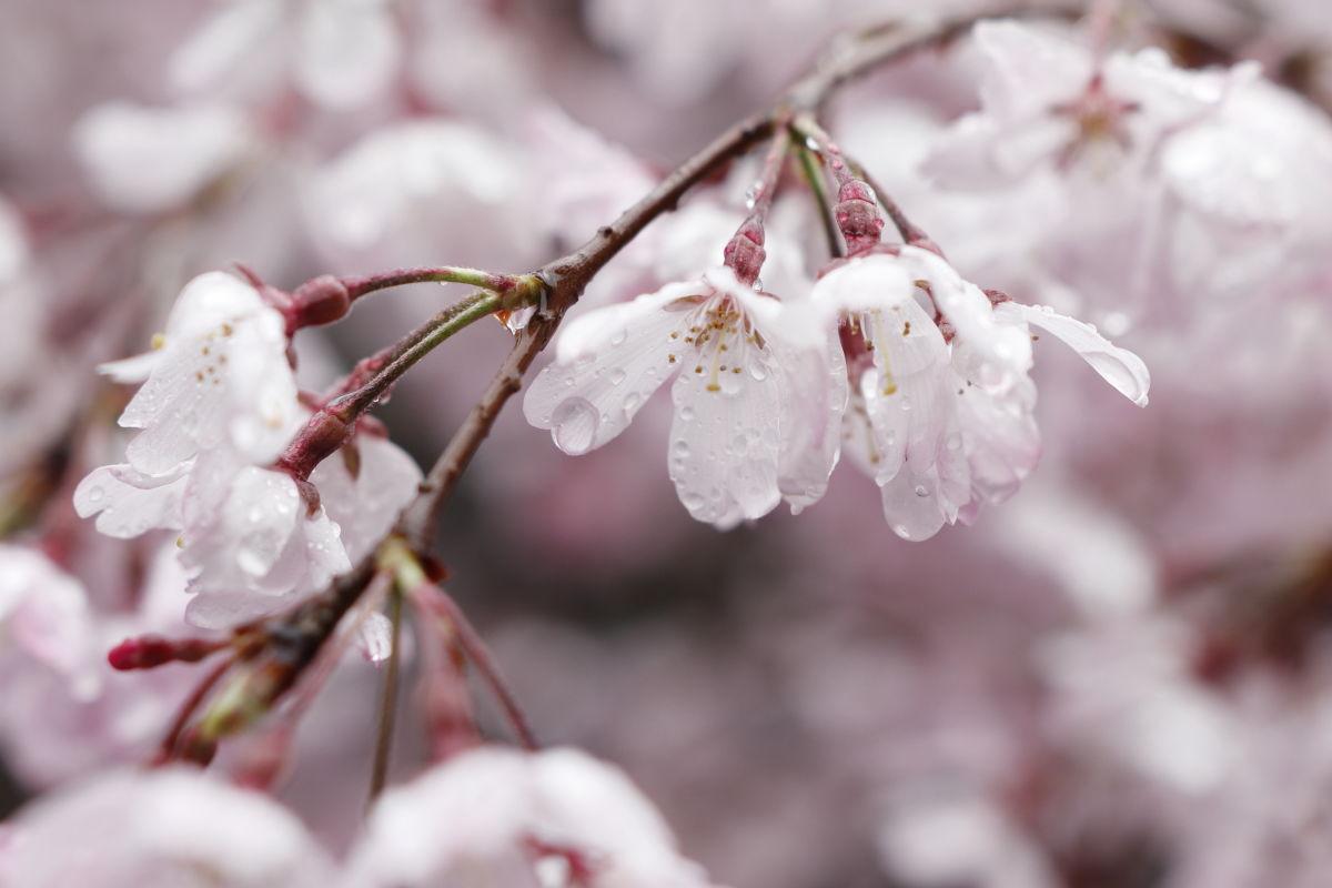 弓弦派神社の桜 2020年4月1日