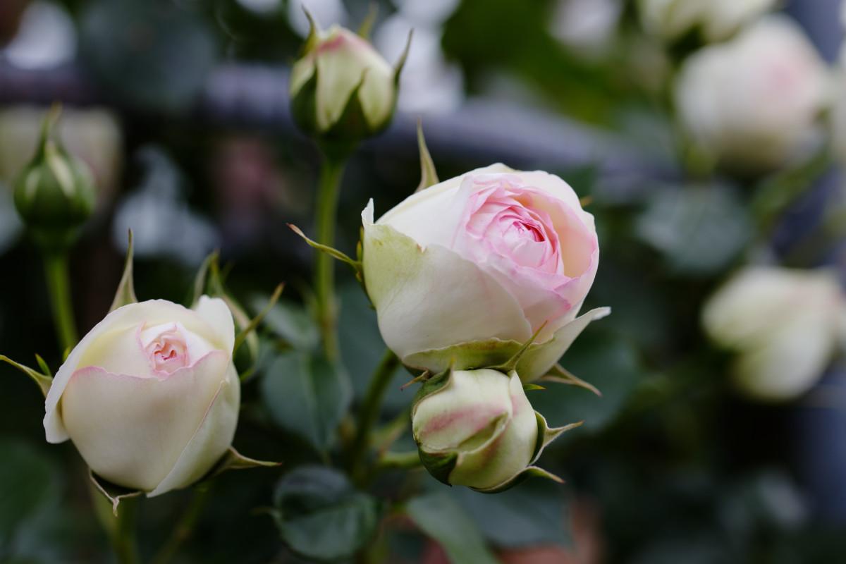 本山街園 バラ園 薔薇の蕾 2020年5月