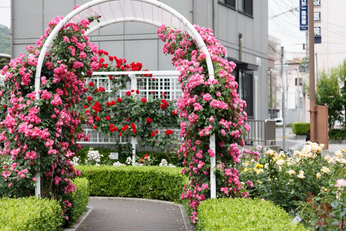 本山街園 バラ園 薔薇のアーチ 2020年5月