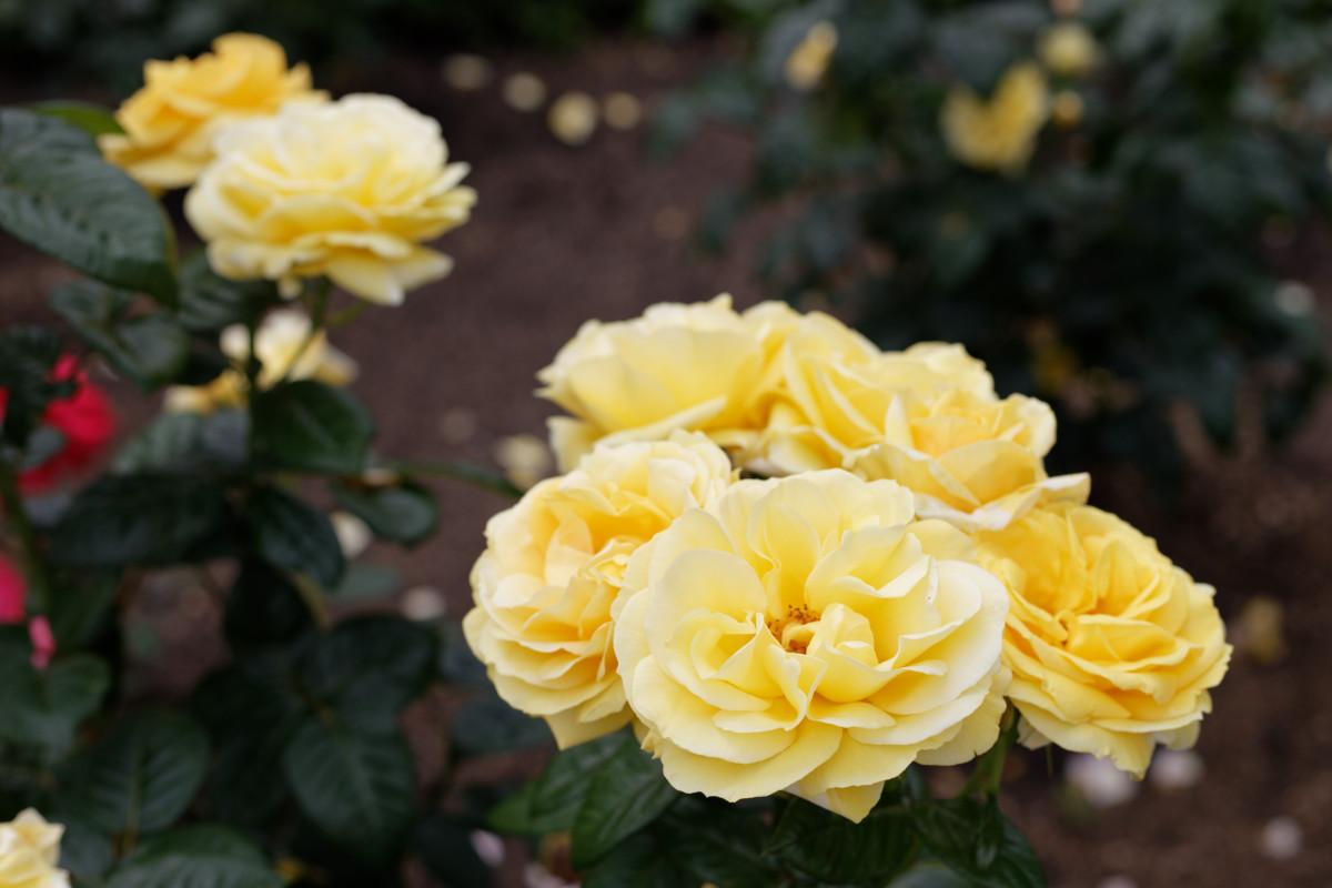 本山街園 バラ園 黄色い薔薇 2020年5月