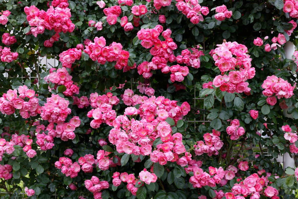 本山街園 バラ園 ピンクの薔薇 2020年5月