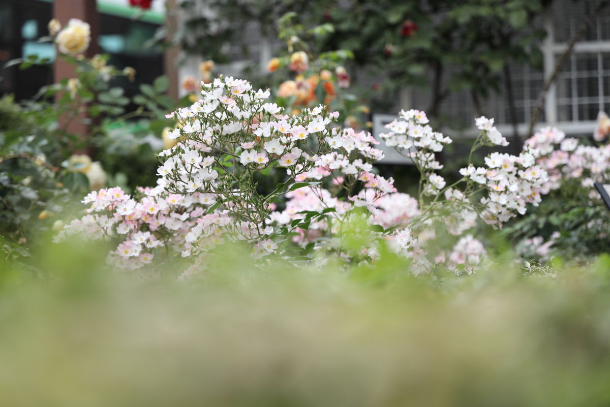 山本街園・バラ園 2019年5月