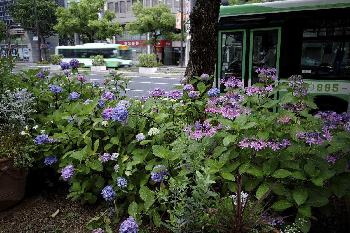 神戸市バスと紫陽花