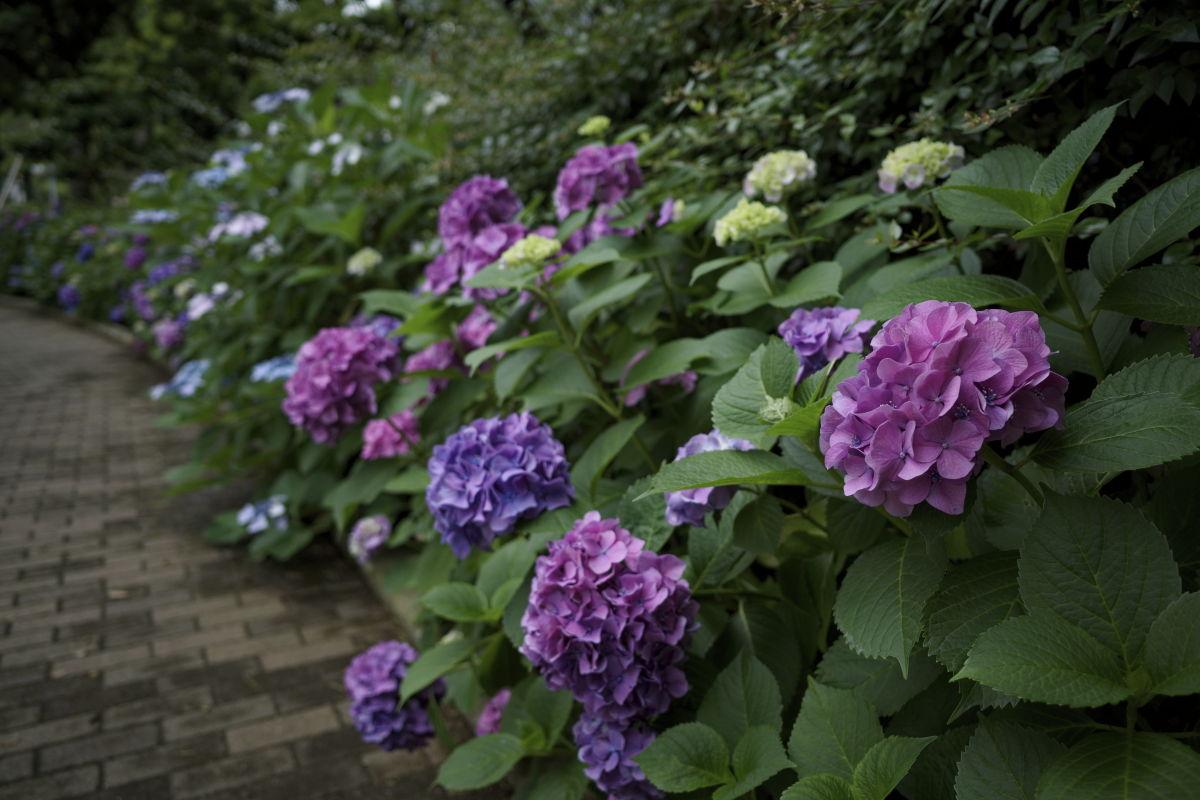 三宮東遊園地の紫陽花
