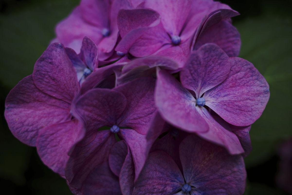 紫陽花 マクロ GR3