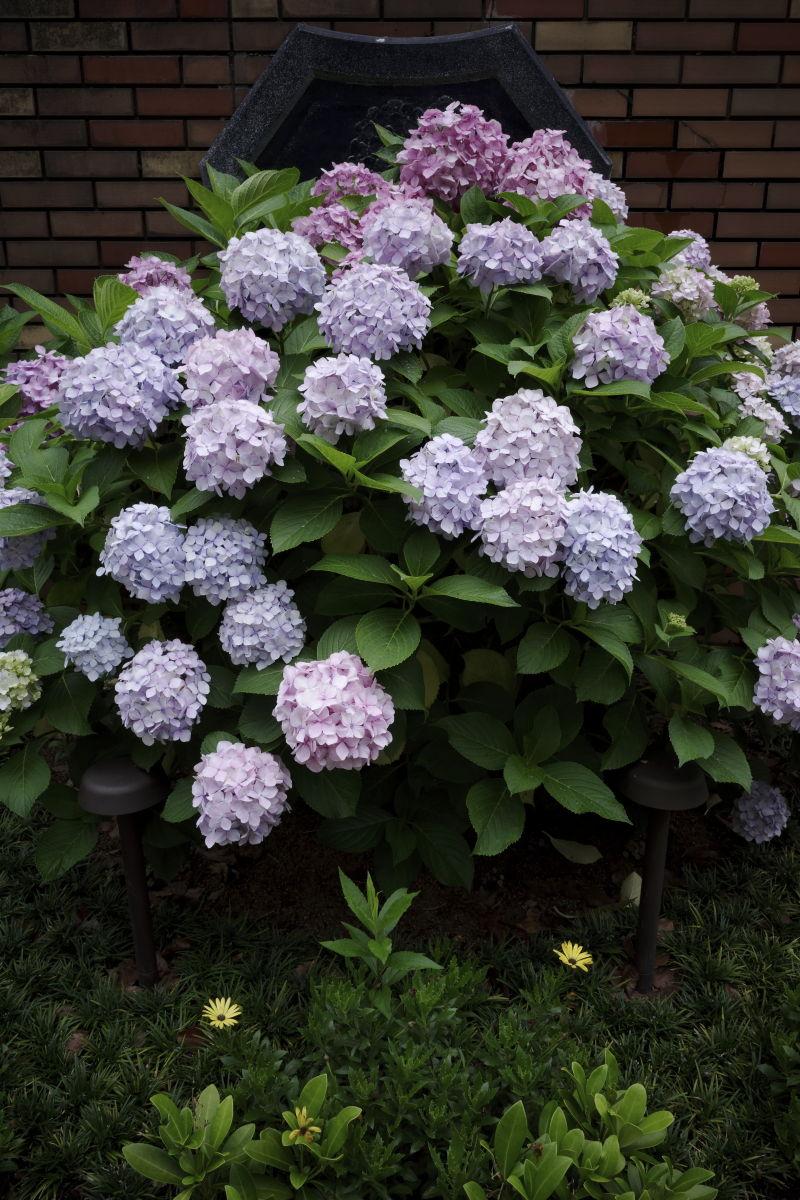 三宮フラワーロードの紫陽花