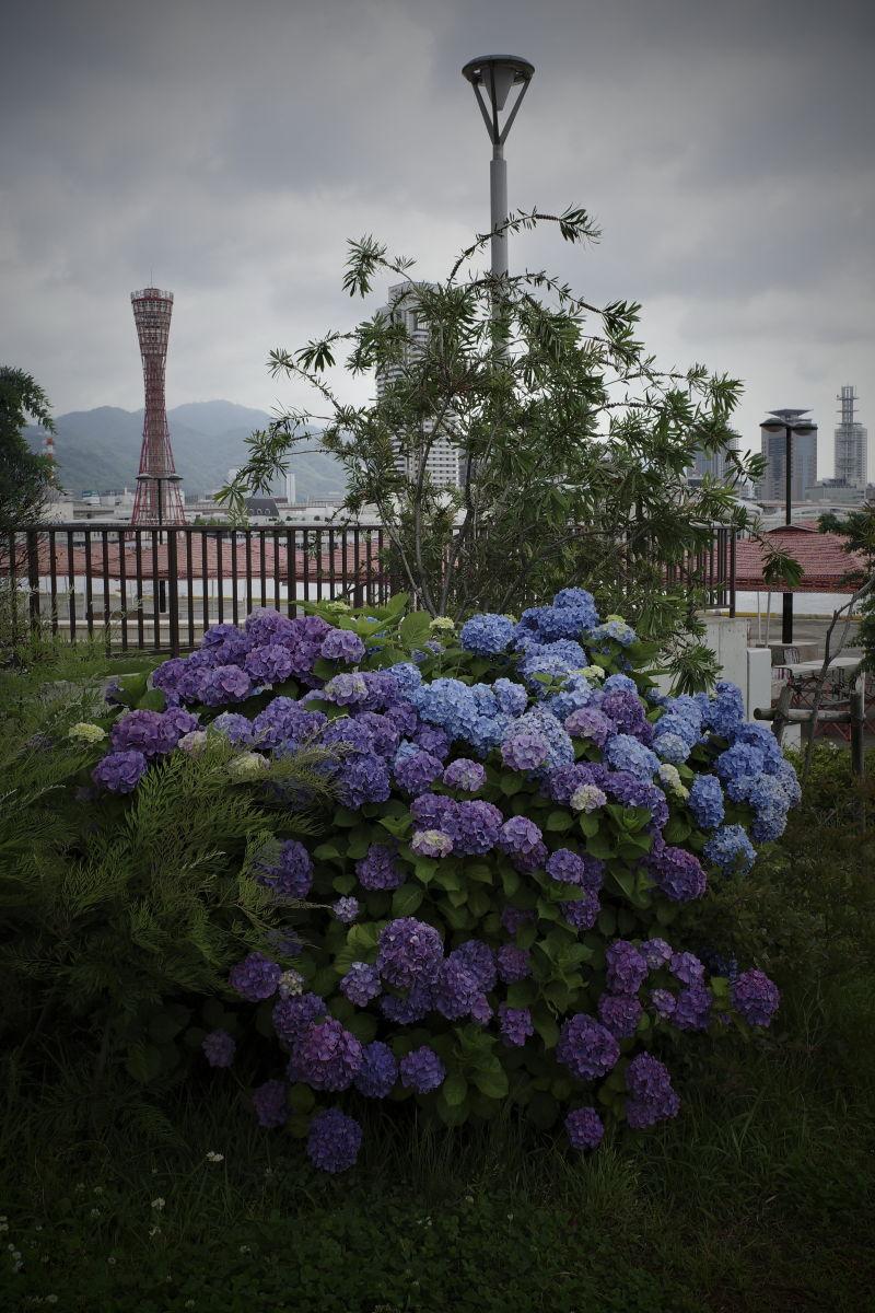 ポートタワーと紫陽花 神戸市の花・あじさいの名所まとめ
