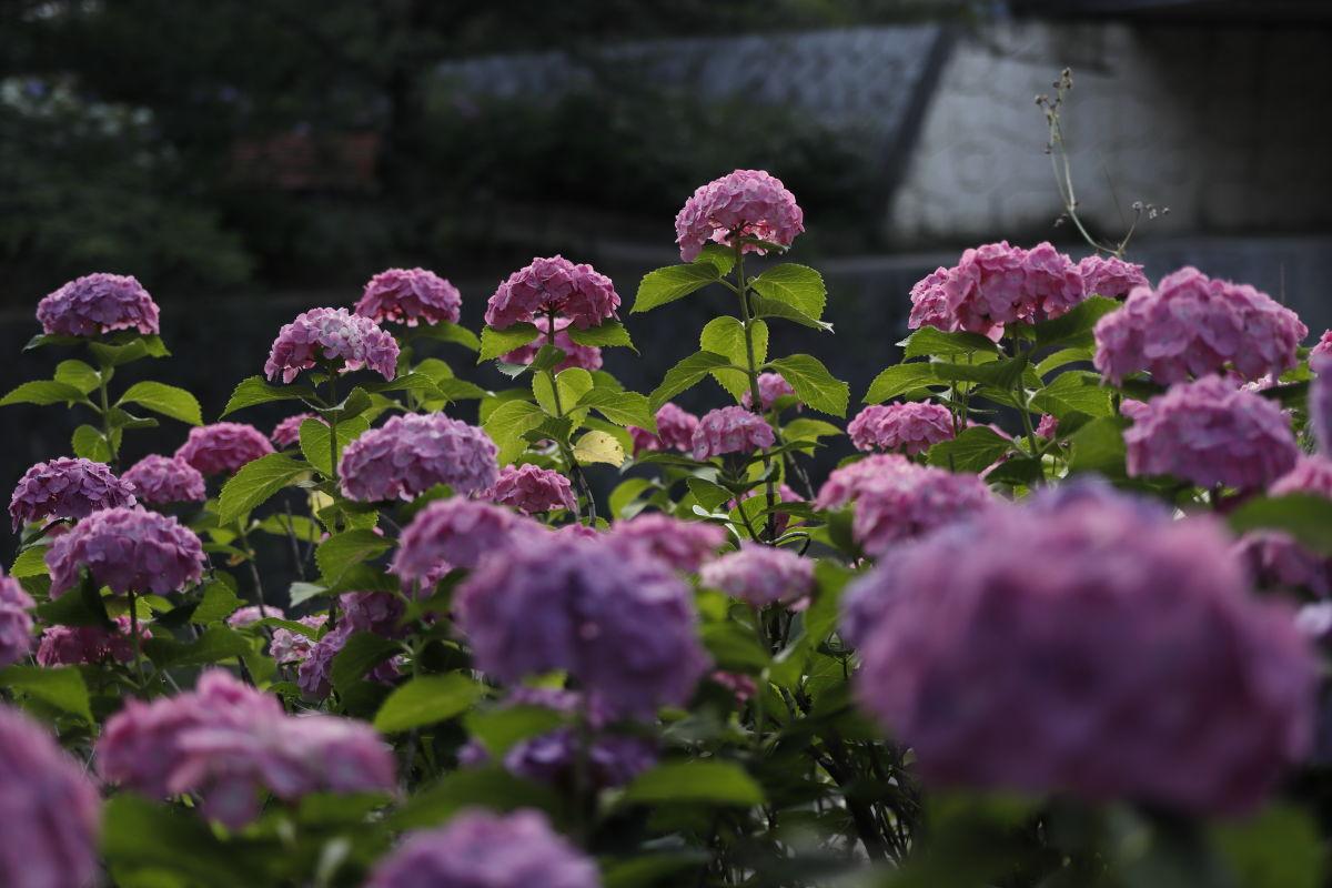 夙川の紫陽花 CANON EOS Kiss M