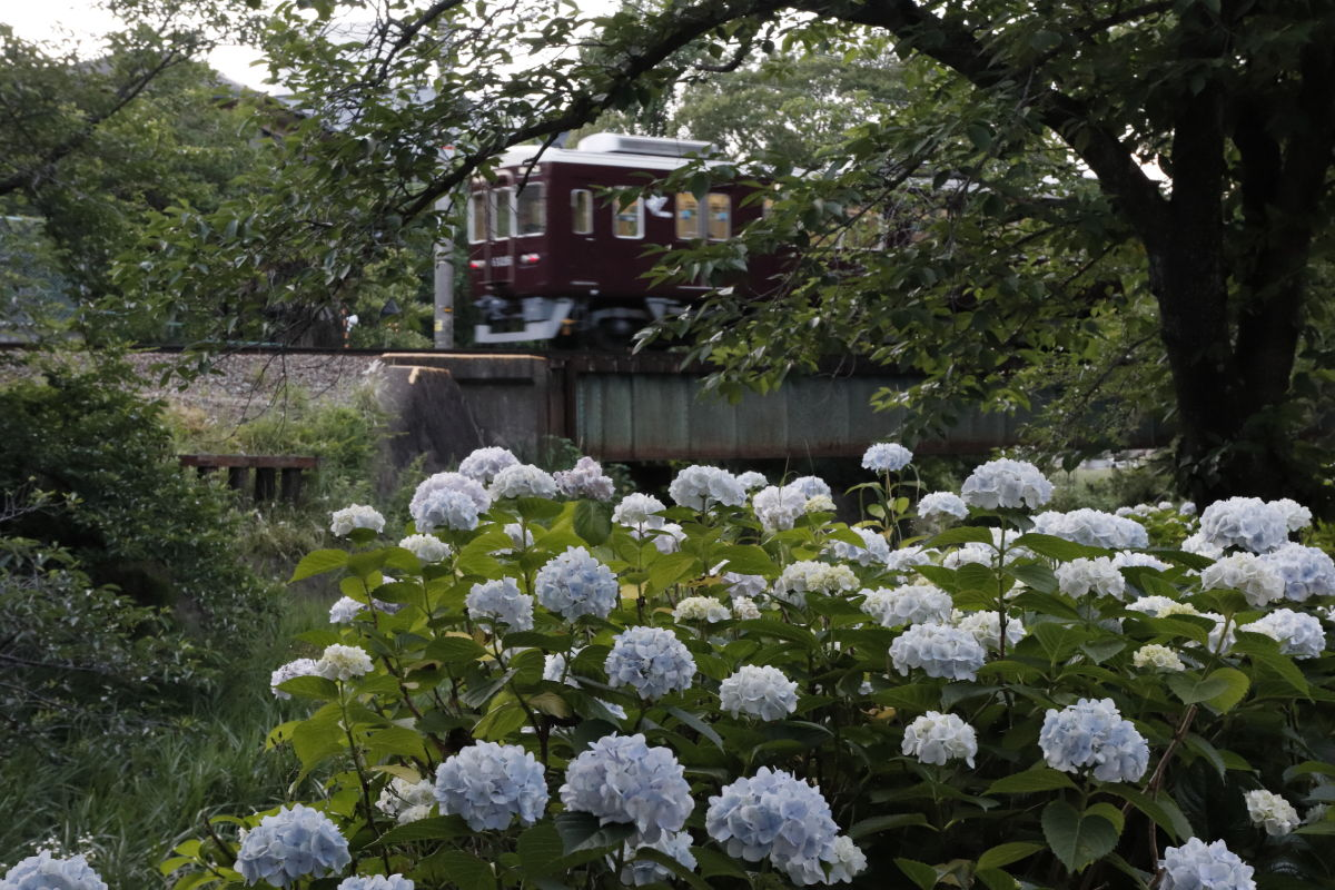 阪急電車 夙川の紫陽花 CANON EOS Kiss M