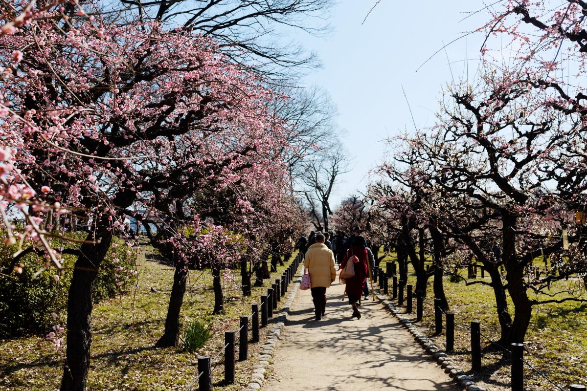 大阪城梅林 梅の開花状況 2020年2月21日