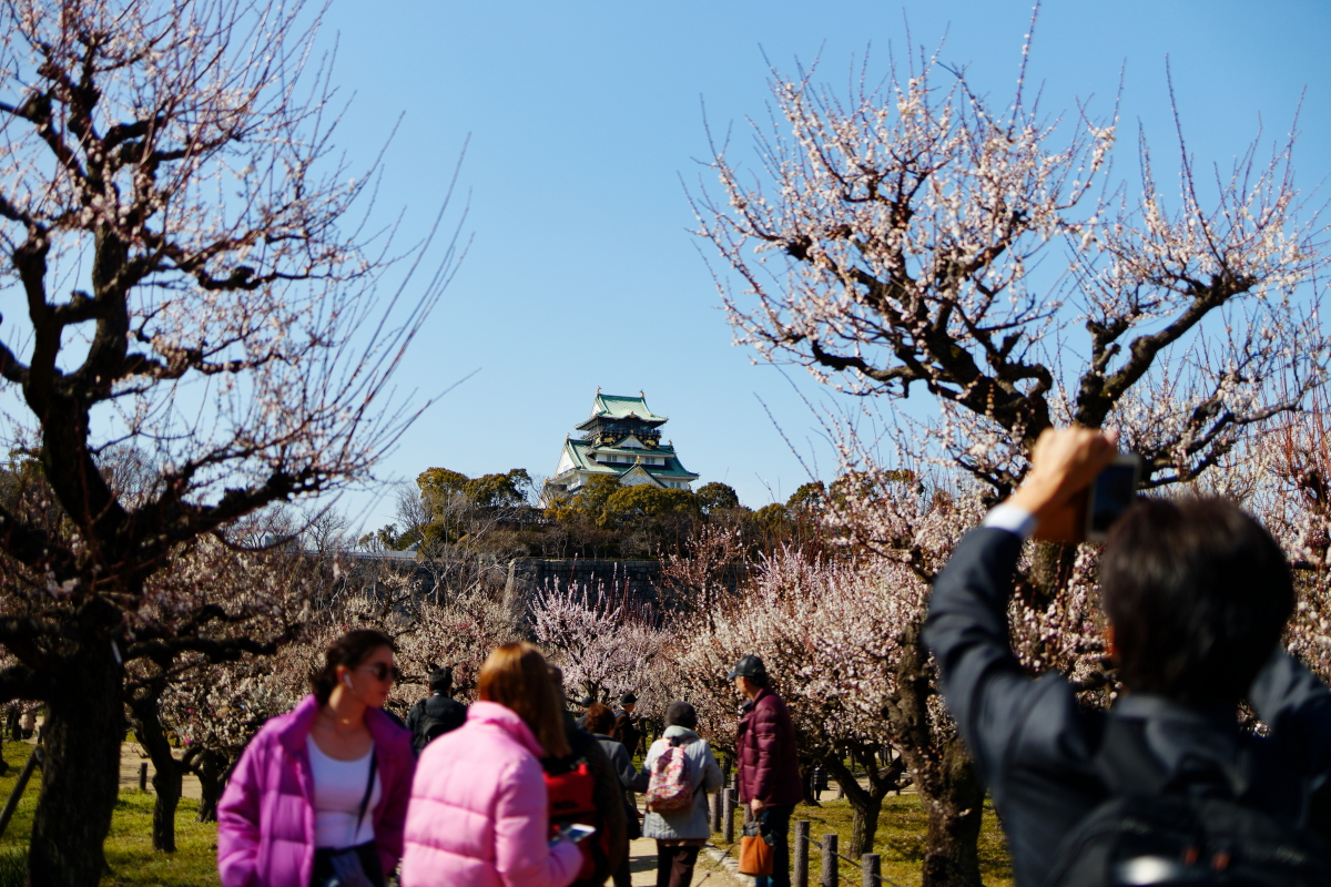 大阪城梅林 梅の開花状況