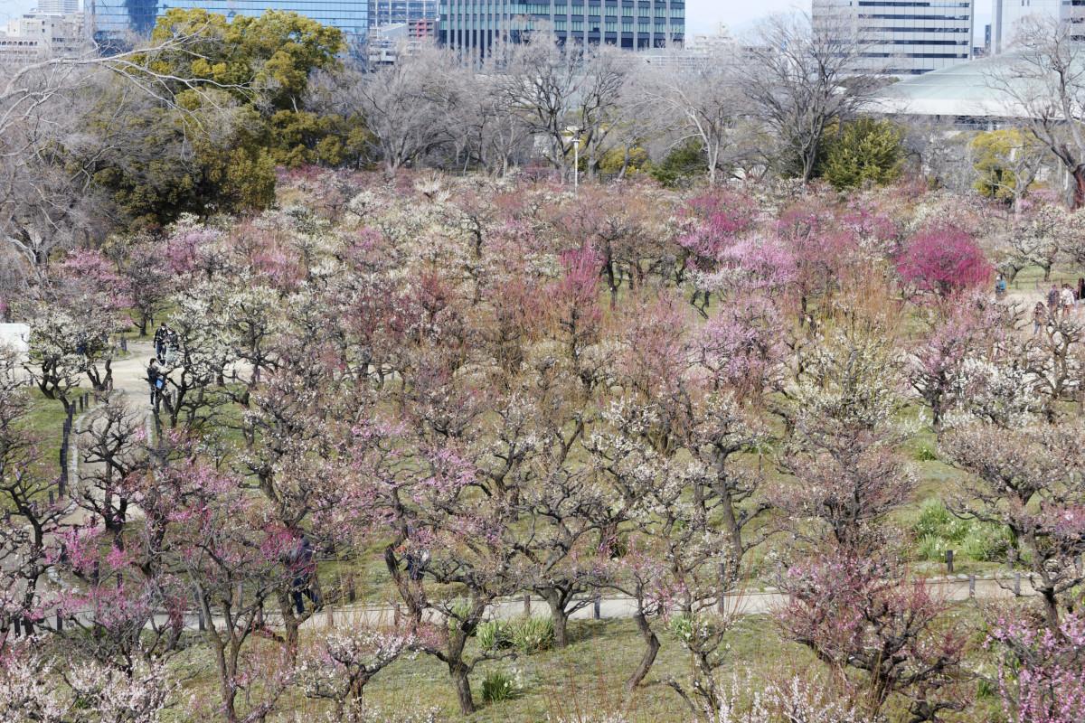 大阪城梅林 2021年2月17日の開花状況