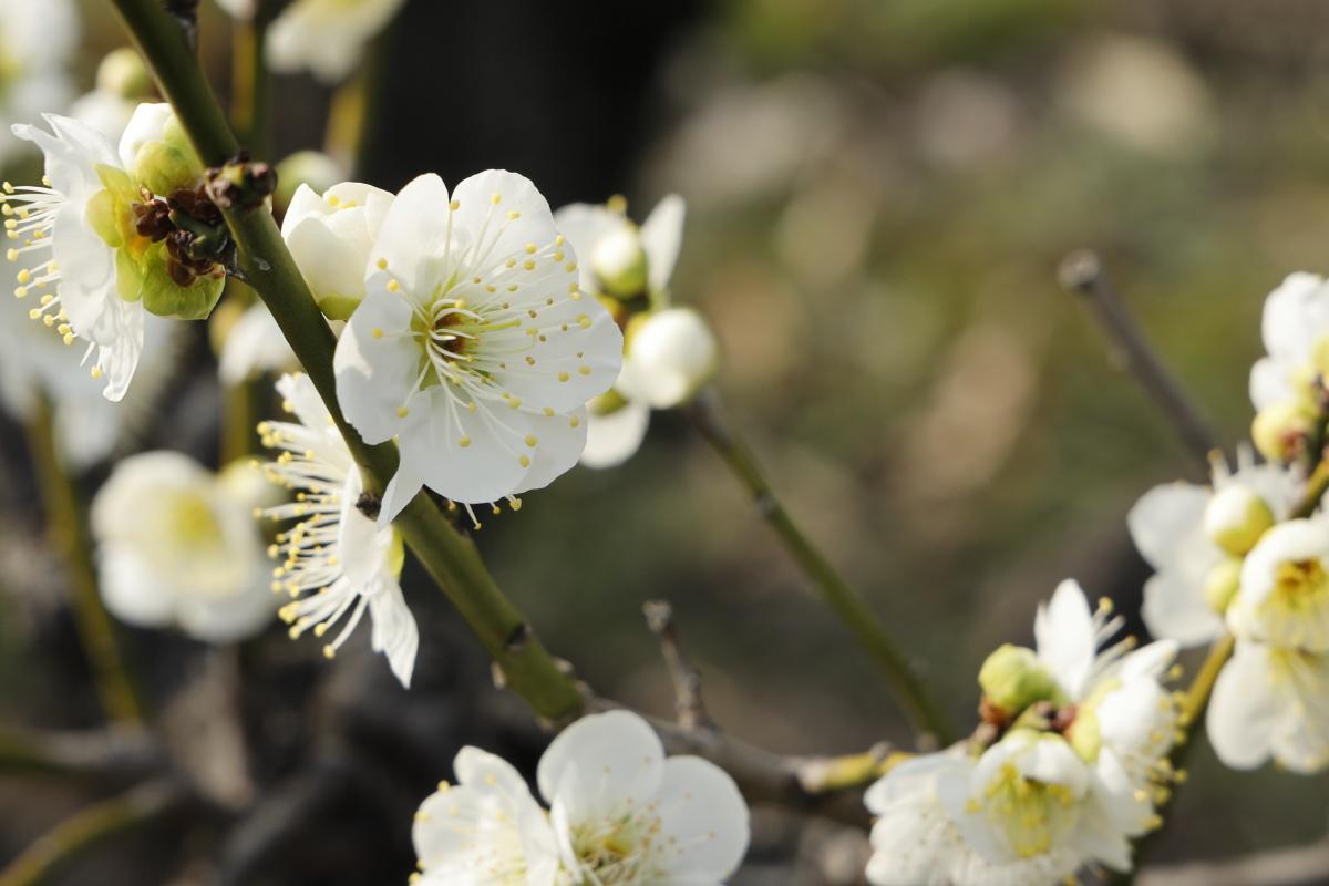 大阪城梅林 2021年2月7日の開花状況