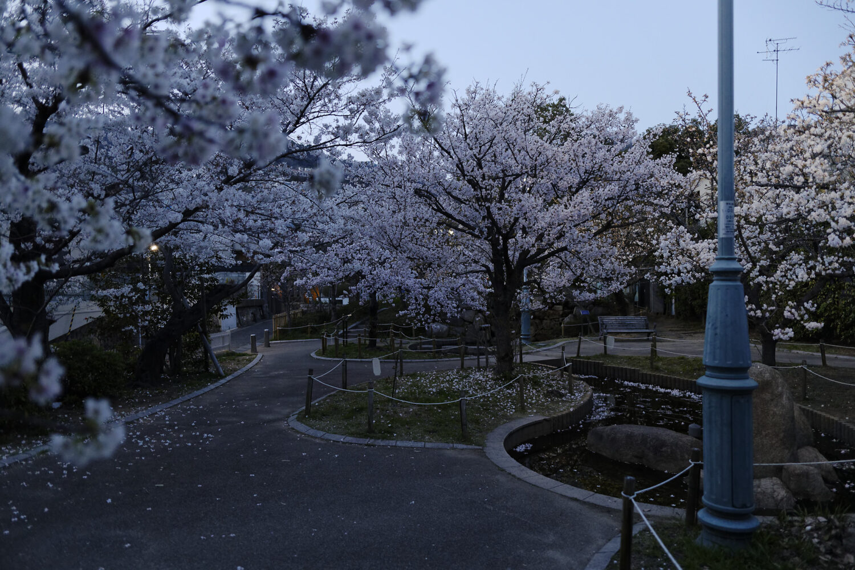 岡本南公園(岡本桜守公園)の桜開花状況 2021年3月26日