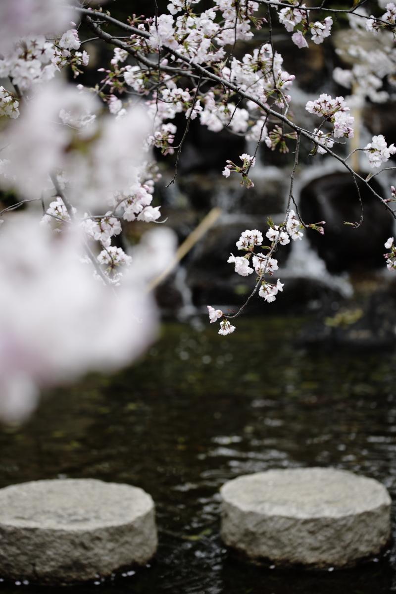 岡本南公園(岡本桜守公園)の桜開花状況 2020年3月31日