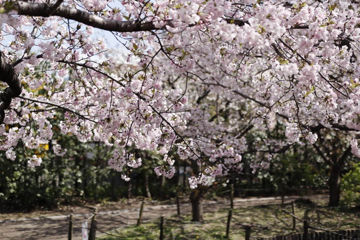 岡本南公園(岡本桜守公園)の桜開花状況 2020年4月2日