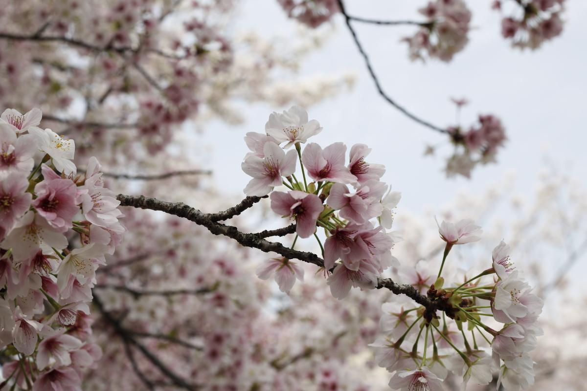 岡本南公園(岡本桜守公園)の桜開花状況 2021年3月30日
