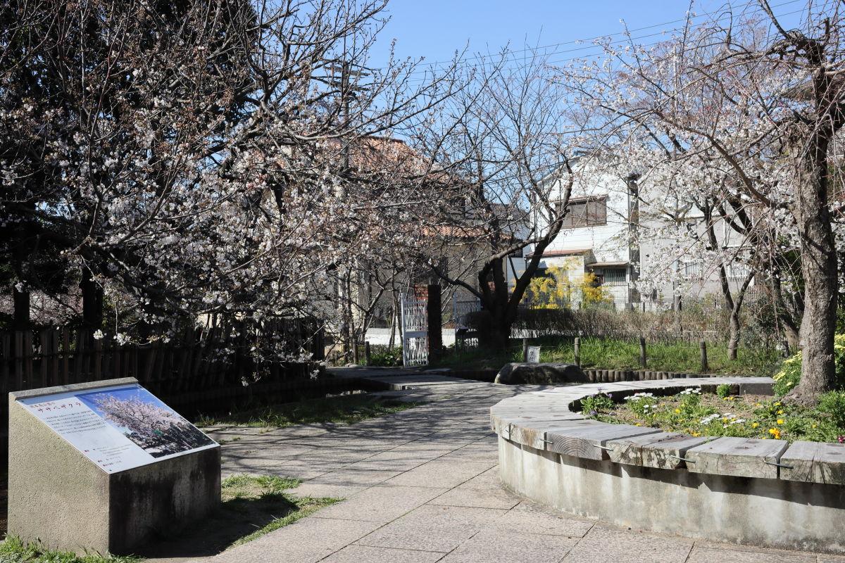 岡本南公園(岡本桜守公園)の桜開花状況 2020年3月25日