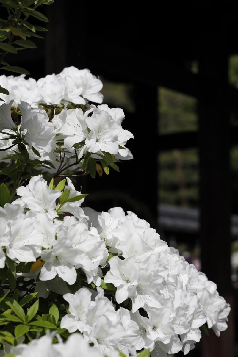 春の京都・城南宮 白いつつじ