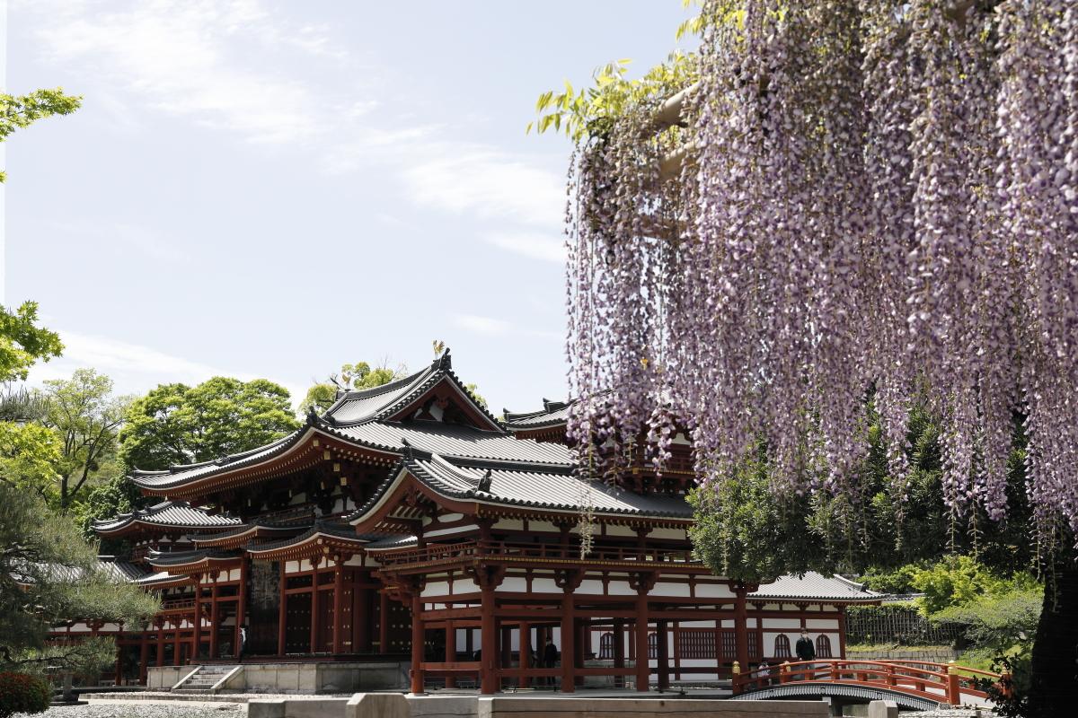 藤棚 春の京都・平等院鳳凰堂