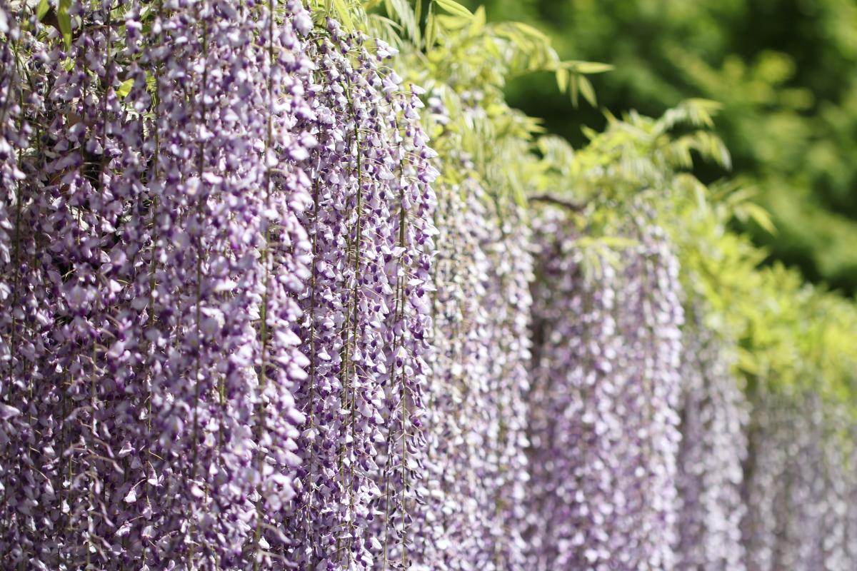京都 平等院の藤の花