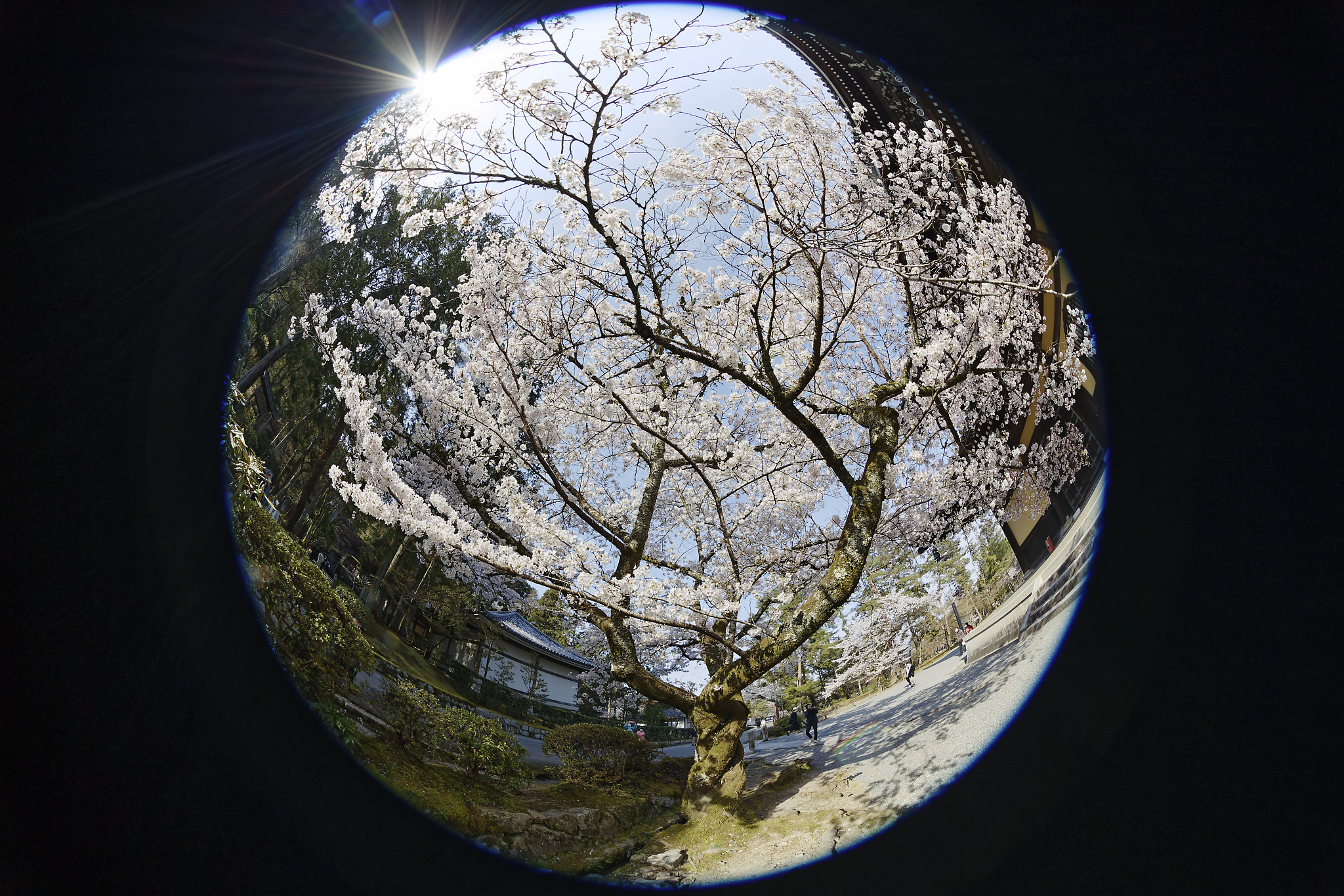 EF8-15mm f/4L FISHEYE USMの作例写真 京都 南禅寺の桜