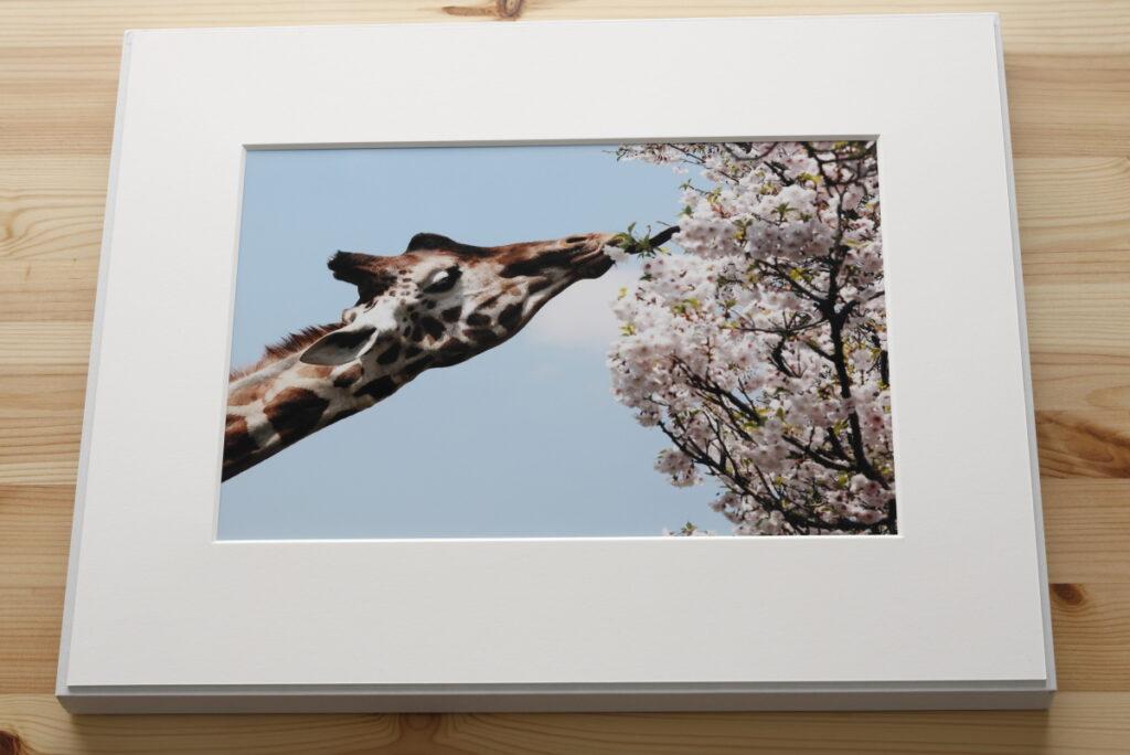 ギャラリー キリンの写真 ウォールデコ 富士フイルム WALL DECOR FujiFilm