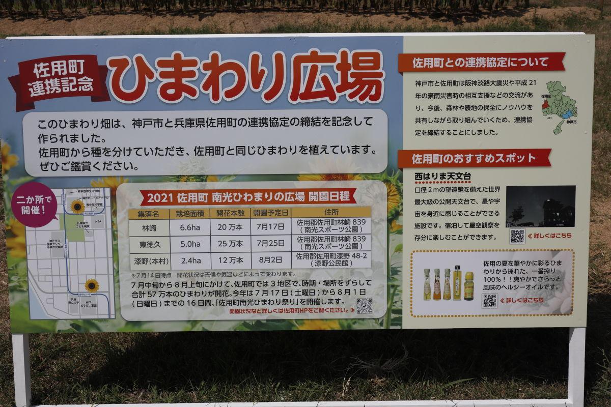 兵庫県佐用町と神戸市の連携記念のひまわり畑