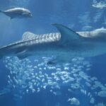 ジンベエザメ EF-M22mm F2 STM作例写真 水族館 海遊館