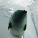 ワモンアザラシ EF-M22mm F2 STM作例写真 水族館 海遊館
