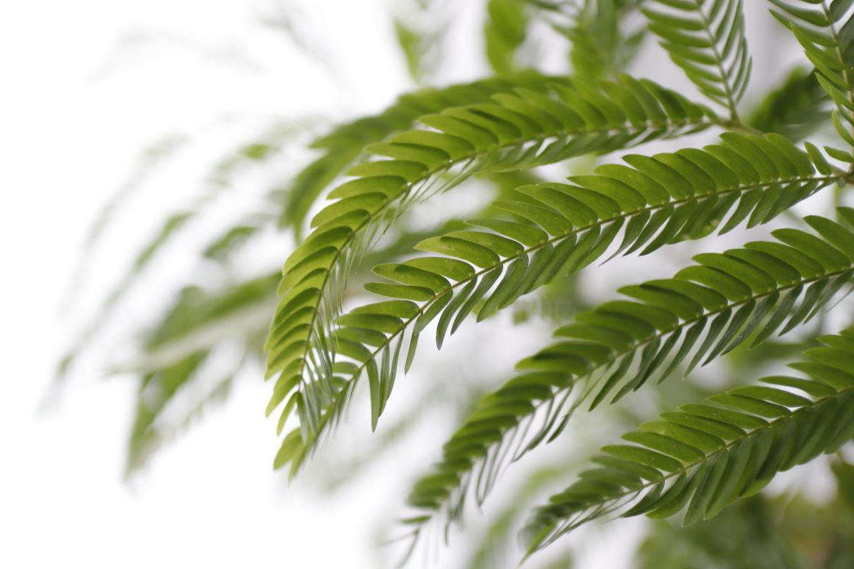 EF-M22mm F2 STM作例写真 観葉植物 エバーフレッシュ